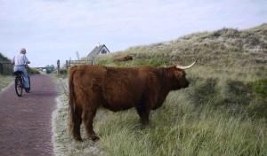 Skotska kor i Bergen aan Zee.