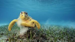 Havssköldpadda under vatten