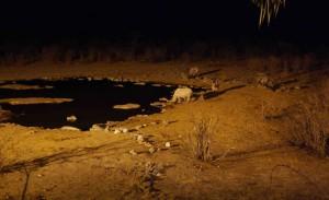 Noshörningar i Etosha.