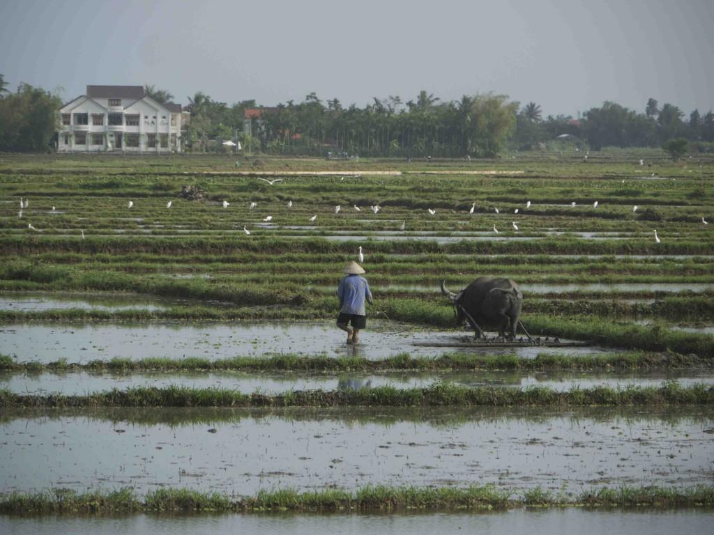 Risfält i Hoi An.