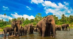 Det finns ungefär 6 000 vilda elefanter på Sri Lanka så chansen att få se dem är ganska stor.