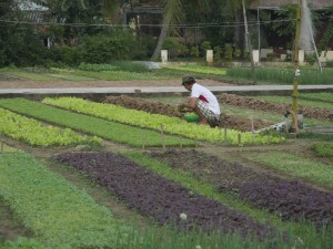 Perfekta grönsaksfält i Tra Que.