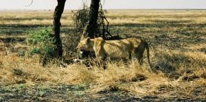 Den utsvultna lejonhonan vaktar sitt byte