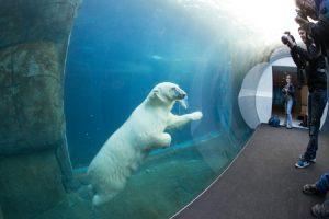 Köpenhamnskortet ger bland annat inträde på Köpenhamns fina zoo, som är öppet året runt och där du kan se isbjörnar under vatten. Foto: Copenhagen Zoo